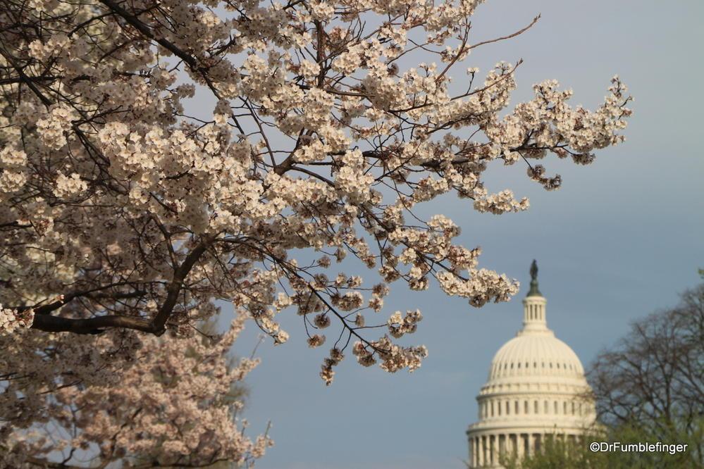Mar 31 2016 Cherry Blossoms Washington D C Travelgumbo