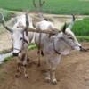 Pair of oxen powering a Persian Water wheel (sakia), Rajasthan, India