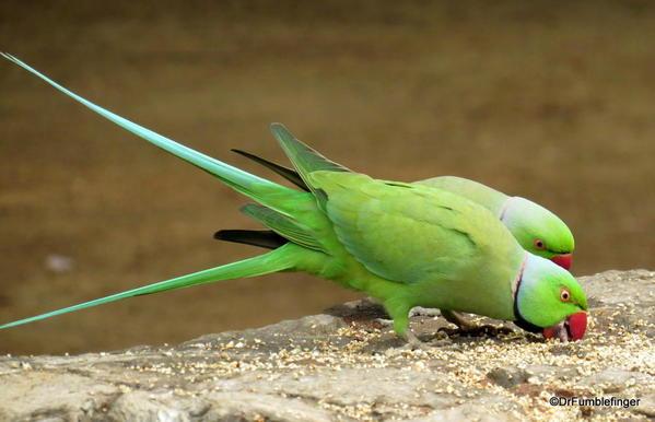 74 Lodhi Gardens, Parakeets. Delhi 02-2016 (7)
