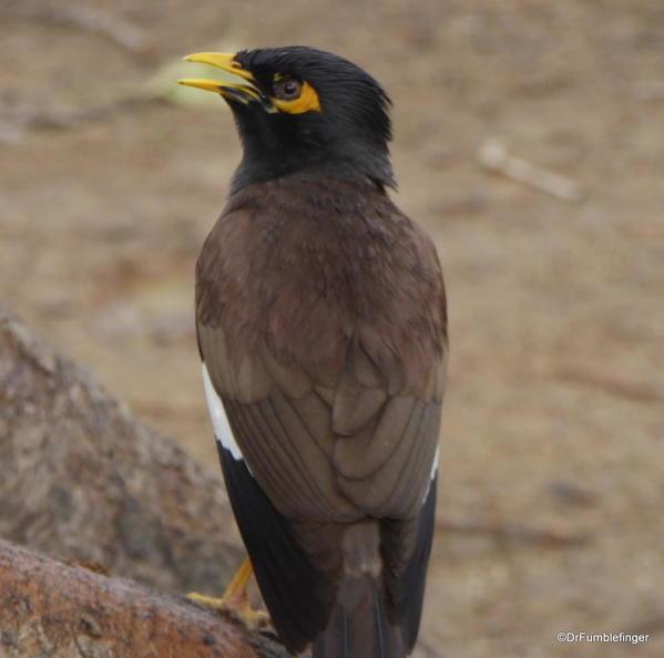 75 Lodhi Gardens, Mynah bird. Delhi 02-2016 (2)