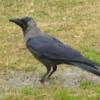 Lodi Gardens, Delhi, Crow