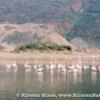 Lesser flamingos at Kenya's Lake Bogoria