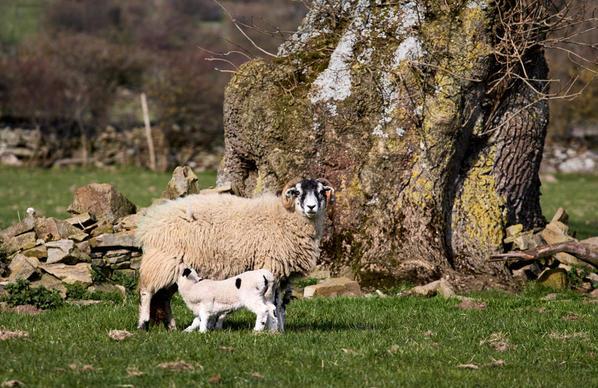 Sheep 4 ls col