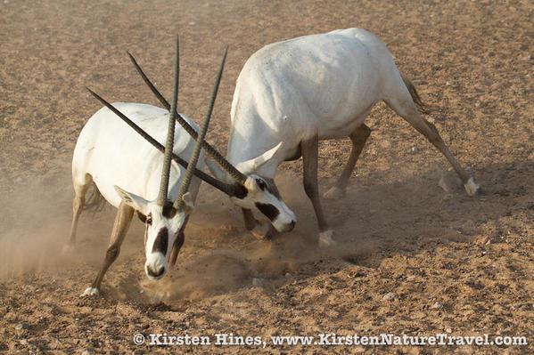 Hines_oryx-1