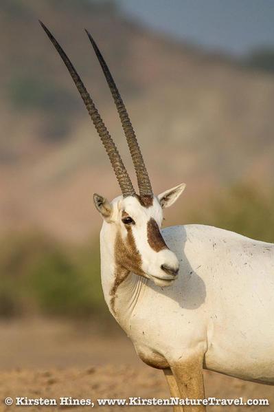 Hines_oryx-1-2