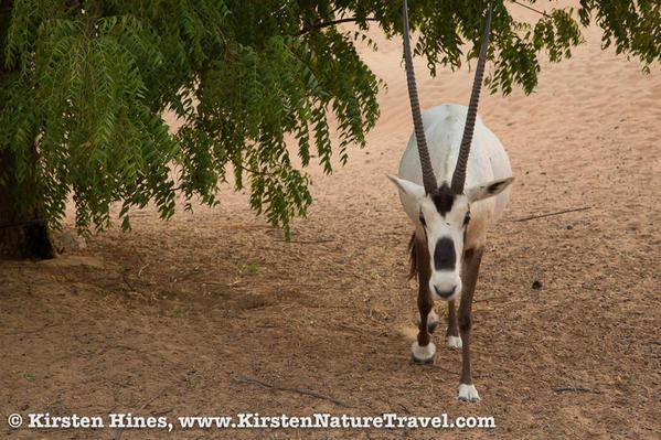 Hines_oryx-1-4