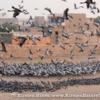 Demoiselle Cranes leaving the feeding enclosure in Khichan