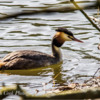 Great Crested Grebes. Worthington Lakes, Wigan