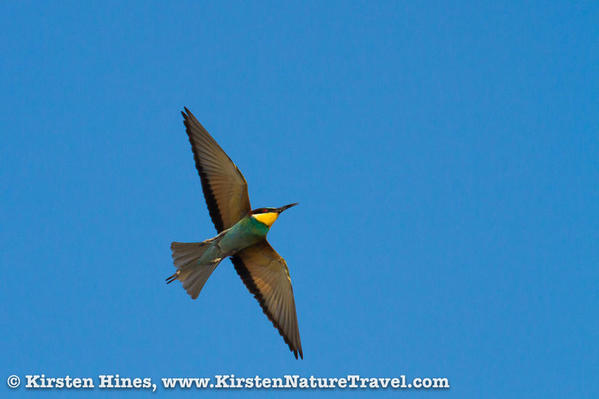 Hines_beeeaters-1-2