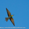A European Bee-eater cuts across the sky, glowing in the evening light