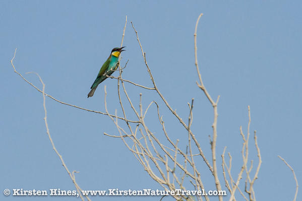 Hines_beeeaters-1-3