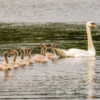 Swan and Cygnets,  Hollywell Nature Reserve, Northumberland, UK.
