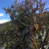 Bristlecone pines in the White Mountains
