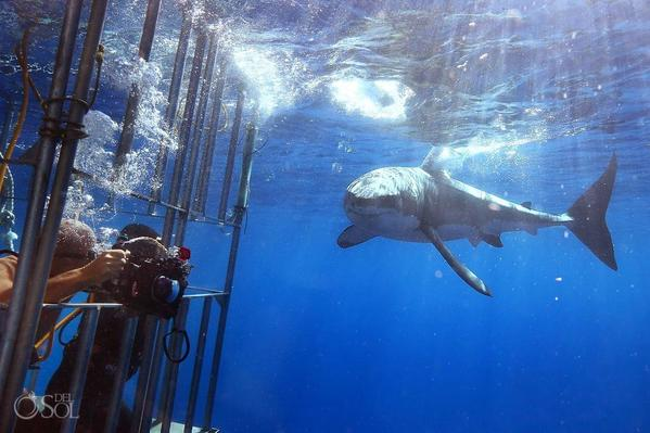 Great-White-Shark-Dive-Guadalupe-Island-Mexico_0006