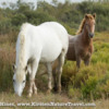 Wild Horses of Camargue, France