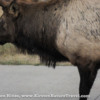 Bull elk blocking my pathway, too close for my camera to focus.
