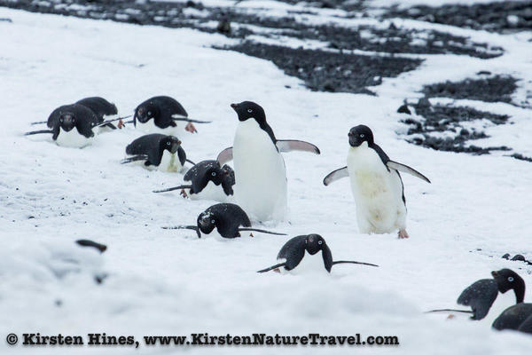 Antarctica_seal_attack-2