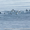 Antarctica_seal_attack-3