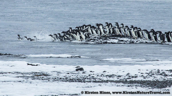 Antarctica_seal_attack-4