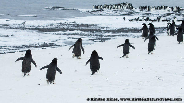 Antarctica_seal_attack-5