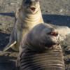 Antarctica_weaner-8