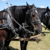 Percheron Horses, Bar U Ranch, Alberta