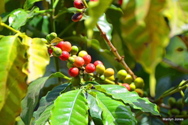 Antigua coffee 5