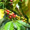 Antigua coffee 5