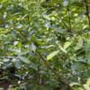 Mate plant