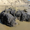 Barnacle covered rock, Crystal Cove State Park, Newport Beach, California