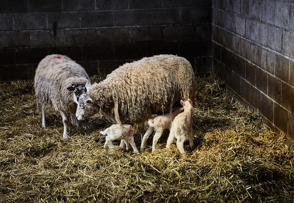 Ewes new born lambs col 2