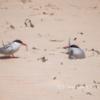 Arctic terns, Long Nanny