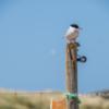 Arctic tern, Long Nanny