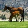 Wild Horses, Virginia City, Nevada