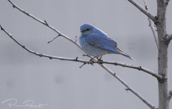 Male Mountain Bluefird