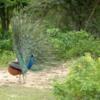 Peacock, Yala National Park