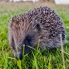 Hedgehog, Northumberland