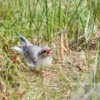 Artic Tern, Northumberland