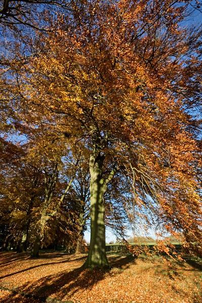 Autumn beech.