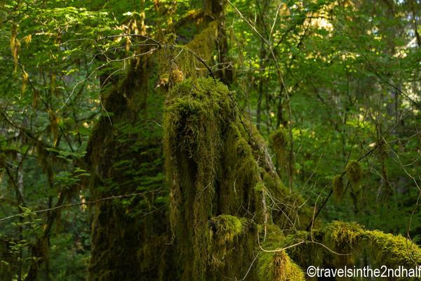 hoh rainforest 06