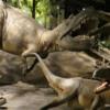 Royal Tyrrell Museum, Drumheller.  Albertosaurus 69,000,000 yrs ago