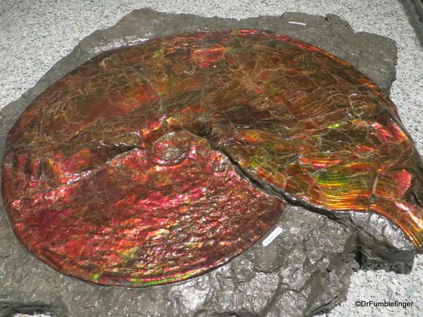 019 Royal Tyrrell Museum, Drumheller. Ammonite, Lethbridge Alberta