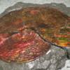 Ammonite, Royal Tyrrell Museum, Drumheller.  Ammonite, Lethbridge Alberta
