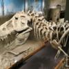 Dinosaur Hall,  Royal Tyrell Museum, Drumheller. TRex