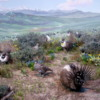 Sage Grouse diorama, Denver Museum of Nature and Science