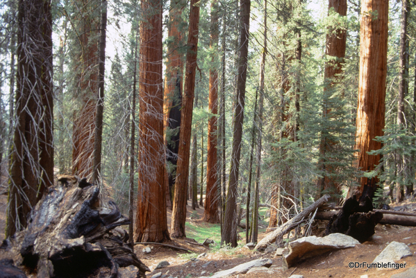 Sequoia National Park 6-90 018. Congress Trail