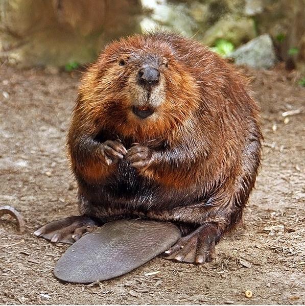 American_Beaver courtesy Steve and Wikimedia