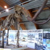 Yukon Beringia Interpretive Centre.  Mammoth