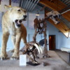 Yukon Beringia Interpretive Centre.  American Scimitar Cat