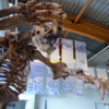 Yukon Beringia Interpretive Centre.  Jefferson's Ground Sloth